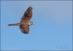 on the hunt. (evelyng23) Tags: florida usa falcosparverius enp everglades evergladesnationalpark falcon fierce inflight nature wildlife avian hunting female birdofprey americankestrel sigma 300mmf28 14xtc 420mm aficionados pentaxk3 2019 evelyng23