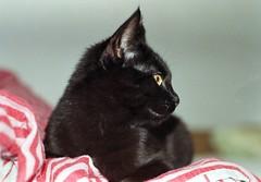 Film Cat (La drw) Tags: blackcat nikon f80 afga vista c41 film analog 35mm 50mm cat iso200 nikkor animal cute black color colour