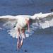 White Ibis (johnsutton580) Tags: wellington florida usa