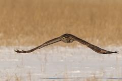 Stealth flying (BenBoda) Tags: wildlife nature animal bird birdphotography buzzard flight winter canon1div canon400f56