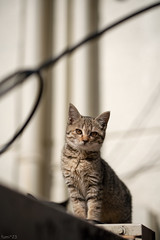 猫 (fumi*23) Tags: ilce7rm3 sony street sel85f18 85mm fe85mmf18 emount katze neko cat chat gato kitten a7r3 animal ねこ 猫 ソニー 仔猫