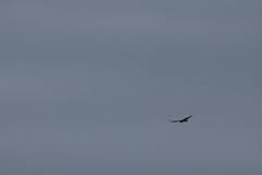 IMG_4430 (armadil) Tags: prairie ranchocorraldetierra bird birds vulture turkeyvulture flying