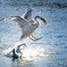 Am Schwanensee ist Aktion ;-)