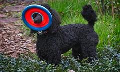 Where are you (tfhammar) Tags: rufus frisbee miniature poodle jasmine bulbine dog