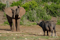 Elephant vs Buffalo (fascinationwildlife) Tags: animal mammal wild wildlife nature natur national park addo elephant buffalo cape eastern kaffernbüffel bull male africa afrika african trunk south südafrika southafrica summer evening elefant
