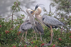 Great Blue Heron (jtolle1@bellsouth.net) Tags: greaat blue heron everglades birds rookery feeding