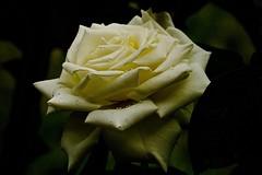Rose (prokhorov.victor) Tags: цветок цветы растения флора сад природа лето макро