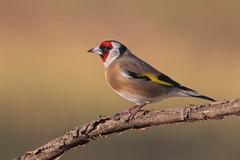 Cardellino (Ricky_71) Tags: european goldfinch cardellino mountain winter nikon club it