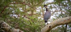 Guineafowl Crested (michael heyns) Tags: ndumo helmetedguineafowl bird guineafowl numidameleagris numididae kwazulunatal southafrica za