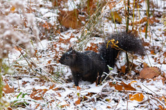 Squirrel in the snow (A Great Capture) Tags: snow snowing squirrel agreatcapture agc wwwagreatcapturecom adjm ash2276 ashleylduffus ald mobilejay jamesmitchell toronto on ontario canada canadian photographer northamerica torontoexplore fall autumn automne herbst autunno otoño 2018 cold weather colours colors colourful colorful eos digital dslr lens canon natur nature naturaleza natura naturephotography naturethroughthelens sigma outdoor outdoors outside woods trees tree arbre forest wald árvore leaves leaf foliage autumnleaves