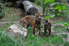 Minou, minou (balese13) Tags: 1855mm beauval loiretcher saintaignan nikon tigre zoo d5000 parc 2550fav tiger animal bestiole