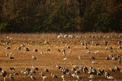 Sandhill Cranes & Whooping Cranes (deanrr) Tags: wildlife wildliferefuge wheelerwildliferefuge decaturalabama alabama sandhillcranes birds nature outdoor whoopingcranes field 2018