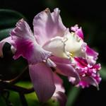 Toronto Ontario - Canada - Allan Gardens Conservatory - Toronto Tropical Garden -  Iris pseudacorus ( Purple flag, Purple iris ) thumbnail