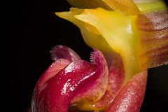 [Philippines] Bulbophyllum basisetum J.J.Sm., Repert. Spec. Nov. Regni Veg. 26: 347 (1929)
