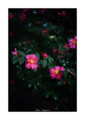 2018/11/25 - 16/21 photo by shin ikegami. - SONY ILCE‑7M2 / Voigtlander NOKTON CLASSIC 40mm f1.4 SC VM (shin ikegami) Tags: 山茶花 flower 花 井の頭公園 吉祥寺 autumn 秋 sony ilce7m2 sonyilce7m2 s7ii 40mm voigtlander nokton nokton40mmf14sc tokyo photo photographer 単焦点 iso800 ndfilter light shadow 自然 nature 玉ボケ bokeh depthoffield naturephotography art photography japan earth asia