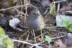"rm-dunnock2 • <a style=""font-size:0.8em;"" href=""http://www.flickr.com/photos/157241634@N04/31572557577/"" target=""_blank"">View on Flickr</a>"