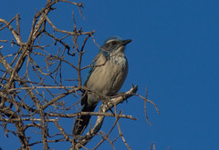 California Scrub-Jay (Laura Erickson) Tags: california lakeisabella corvidae kerncounty birds californiascrubjay tilliecreekcampground species passeriformes places aphelocomacalifornica