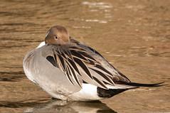 Northern Pintail (phoca2004) Tags: alamedacounty anasacuta bird birding birds d90 duck lakemerritt nikon northernpintail oakland