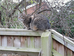 January 10th, Willow Meow Mau in outdoor cat mode (karenblakeman) Tags: cavershamgarden caversham uk fence tree cat tabby willowmeowmau january 2019 2019pad reading berkshire