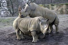 Nashorn (Michael Döring - thx for 20.000.000 views) Tags: gelsenkirchen bismarck zoomerlebniswelt zoo nashorn rhinozeros afs200500mm56e d850 michaeldöring
