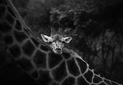 The Overview (HWHawerkamp) Tags: germany animals monochrome giraffe zoo graphics skancheli