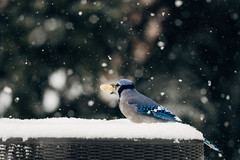 Got the prize (tyle_r) Tags: vscofilm bluejay january iphoto hobart birds 2019 wisconsin snow