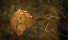 Just hanging around..... (Kevin Povenz Thanks for all the views and comments) Tags: 2018 november kevinpovenz westmichigan michigan ottawa ottawacounty ottawacountyparks nature leaf twigs branches branch fall autumn canon7dmarkii