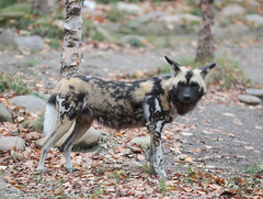 G08A4867.jpg (Mark Dumont) Tags: african cincinnati dog dumont mammal mark painted zoo
