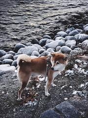 Frosty Morning Walk (pjen) Tags: shibainu shibaken nihonken hiro dog shiba koira primitive breed spitz japanese finland 日本犬 柴犬 urajiro 10years fall autumn frost shore lake