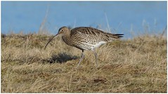 Curlew at RSPB Freiston Shore {Lincolnshire,UK}. (Jeremy Eyeons) Tags: numeniusarquarta curlew rspb lincolnshire freistonshore wader bird water winter