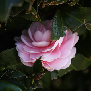 Camellia Pink With my SIGMA DP3 Merrill (2/3)