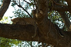 IMGP5143 Relaxed (Claudio e Lucia Images around the world) Tags: ruaha national park tanzania africa leopard leopardo young feline cat big eyes tree pentax pentaxart nationalgeographic africageographic animale pentax60250 pentaxk30 albero giraffa pentaxlens