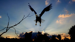 Eagle (Iforce) Tags: landscape wallpaper composition art eagle sky light sunset clouds tree awardtree