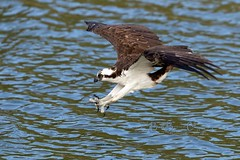 The Approach (Beve Brown-Clark) Tags: osprey bevebrownclark birdofprey hunter ©bevebrownclark wildlife northidaho