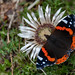 Red Admiral #Explored (fascinationwildlife) Tags: animal insect butterfly schmetterling red admiral distel wild wildlife nature natur national park hohe tauern field hike heiligenblut sattelalm österreich kärnten mölltal austria carinthia