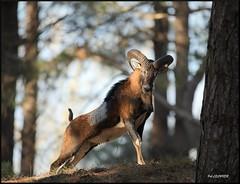 mouflon corse (pat lechner) Tags: mouflon corse moufloncorse marquenterre baiedesomme picardie