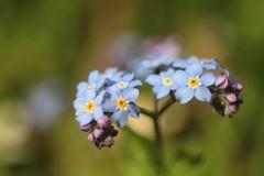 Myosotis      Ross Xpres 75mm F 3.5 (情事針寸II) Tags: blue 青 春 マクロ撮影 自然 花 勿忘草 oldlens macro bokeh narure fleur flower forgetmenot myosotis rossxpres75mmf35