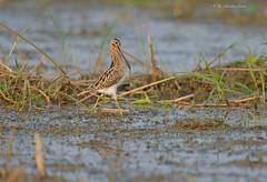My Prize..... (Anirban Sinha 80) Tags: nikon d610 fx 500mm f4 ed vrii n g bird 17xtc 850mm bokeh habitat natural hunting feeding beak