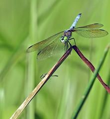 Dragonfly - Libellule (P9_DSCN9090-1PE-20180810) (Michel Sansfacon) Tags: dragonfly libellule nikoncoolpixp900 parcnationaldesîlesdeboucherville parcsquébec faune
