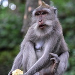 Most of the monkeys in the Sacred Monkey Forest are Balinese Long Tailed Macaques thumbnail