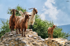the family (dim.pagiantzas   photography) Tags: animals goats mammals nature landscape rocks plants trees sky clouds mountains textures colors light ambient environment ruins
