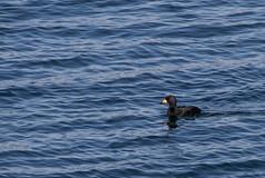 Black Scoter (J.B. Churchill) Tags: blsc birds cumberland maine places portlandheadlight taxonomy waterfowl