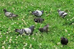 El picoteo (carlos_ar2000) Tags: paloma dove pigeon ave pajaro bird naturaleza nature animal verde green pasto cesped comida food parque park buenosaires argentina