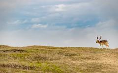 20181219-1417-49 (Don Oppedijk) Tags: fallowdeer damhert amsterdamsewaterleidingduinen awd cffaa