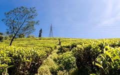 Tea Plantation (Dan Fawcett) Tags: tea plantation