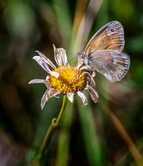 Good to the Last Drop (Portraying Life, LLC) Tags: michigan unitedstates butterfly flower k1 da3004 hd14tc handheld closecrop nativelighting pentax meadow
