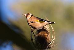 Sobre el cardo (sergio estevez) Tags: aves azul bokeh color calma fauna jilguero campo luz naturaleza nikonafs300mmf4 pajaros posadero rojo sombra sergioestevez