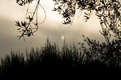 clouded (phacelias) Tags: clouds nuvole wolken sun zon sole olijftakken olivetree ulivo
