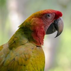 Interference (gecko47) Tags: animal bird parrot macaw hybrid crossbreed verdemacaw aramacaoxaraambigua scarletmacawxgreatgreenmacaw costarica geneticinterference ethics sarapiqui colourful