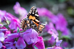 G04_Patemans_Painted Lady on Sweet William_G06_7415.jpg (st peters gardens armidale) Tags: kershawi community plants australia lepidoptera gardenweekend insect northerntablelands newengland 2017 wildlife theavenue caryophyllaceae events animals fauna dianthus places flowering dicot calendar2018 gwfavs nymphalidae animalia arthropoda church nature flower magnoliophyta insecta angiospermae vanessa butterflies phanerogamae paintedlady garden magnolopsida plant sweetwilliam macro flora butterfly barbatus plantae life gardenweekendflickr eudicot armidale caryophyllales nsw armidaleregion